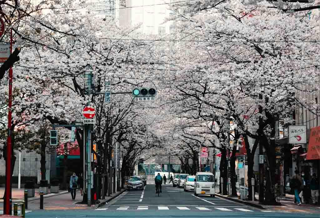 Sakura Trees Japan