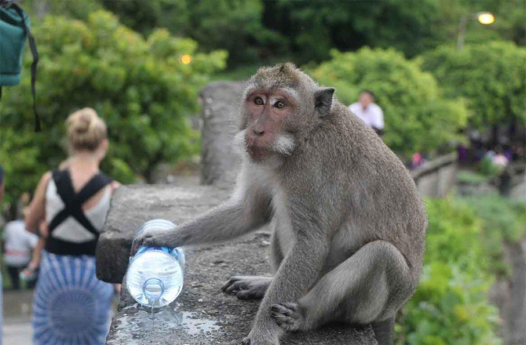 A monkey on Mount Batur